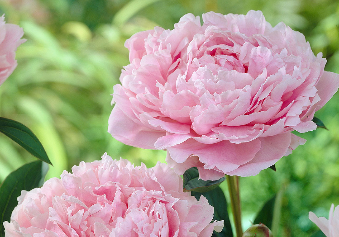 Lush Peonies add Beauty  & Fragrance to  Early Summer Gardens